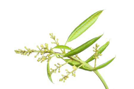 Mango flowers Stock Photo