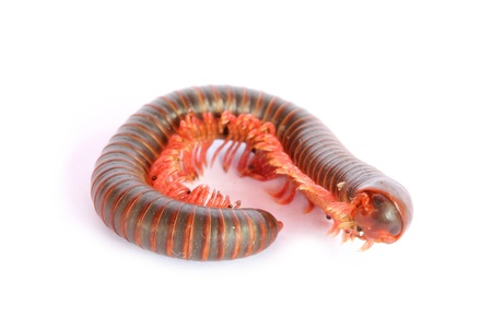 Millipede Stock Photo - 17744119