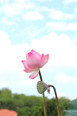Lotus flowers on a white background photo