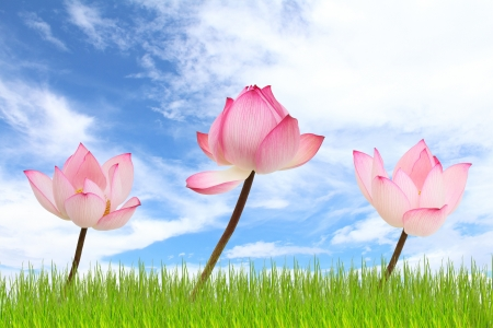 Lotus flowers photo