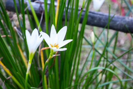Rain Lily White (Zephyranthes Candida) photo