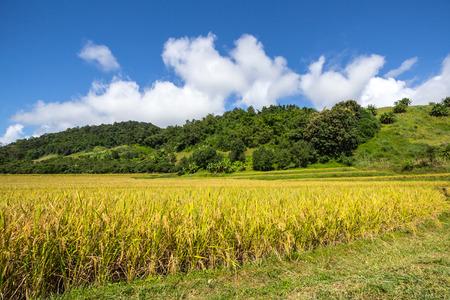 Yellow,Terraced Rice Field in Chiangrai, Thailand photo