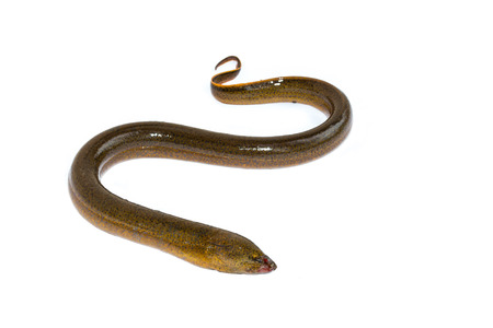 Long eel isolated on a white background photo