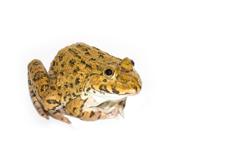 Frog on a white background photo