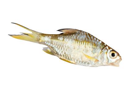 rutilus rutilus: Freshwater white background.