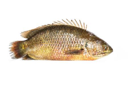 cyprinoid: Fresh fish isolated on a white background Stock Photo
