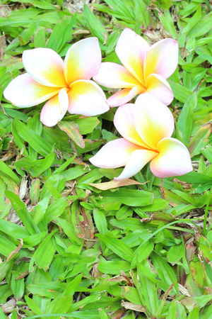 Plumeria on green grass.  photo