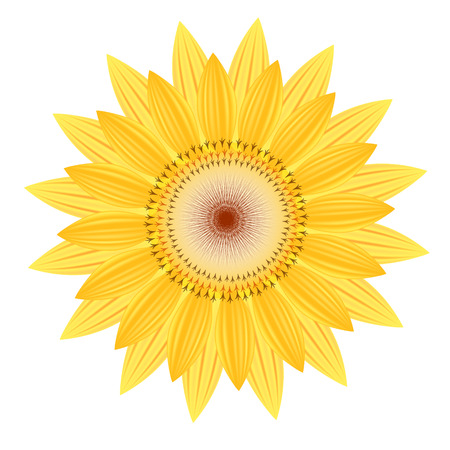 flora: sunflower vector flower nature illustration yellow summer bright natural flora beautiful white