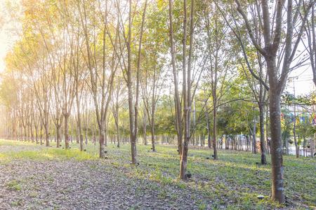 bark rain tree: Rubber Plantation