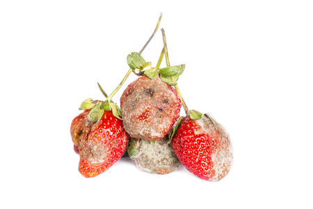 photo of mouldy strawberries covered in white fungus and decaying waste,on a white background