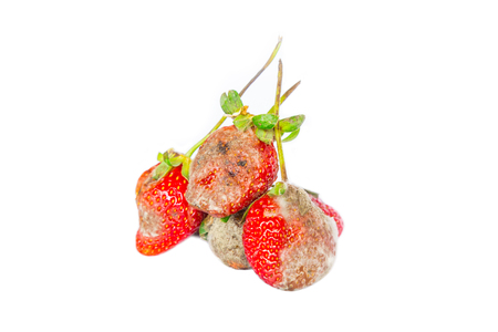 mustiness: photo of mouldy strawberries covered in white fungus and decaying waste,on a white background