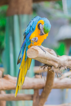 maccaw: parrot bird sitting on the perch