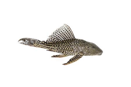 Fish Hypostomus plecostomus isolated on white