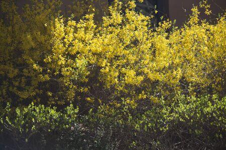 Golden dazzling jasmine 스톡 콘텐츠