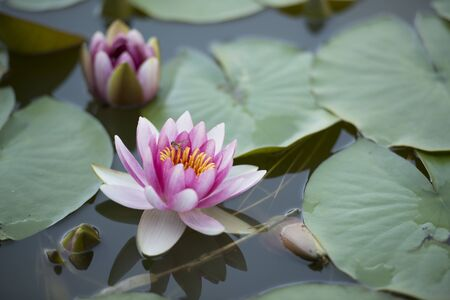 The park's pond is full of blooms, buds, and water lilies just out of the water