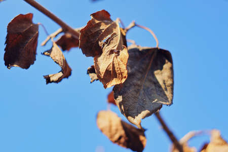 Mulberry leaves hung on the branches of mulberry branches in autumn, which have been beaten by frost, are very important medicinal herbs in Chinese medicine.