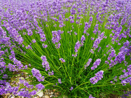 Purple lavender flowers are in full bloom, and the lavender bushes are round and radial 写真素材