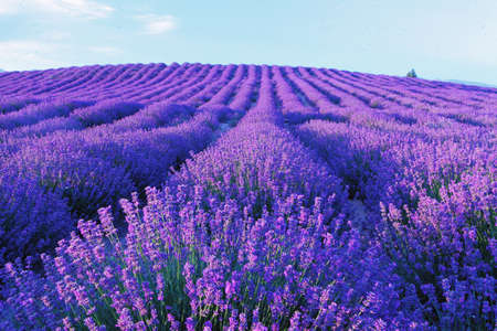 A lavender field with purple lavender flowers blooming in summer, and the ridge flowers form a round arch