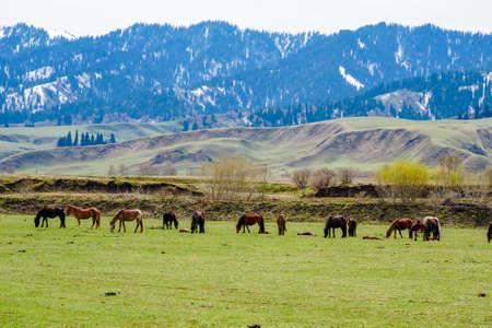 Snow mountain grassland horse herd cattle herd