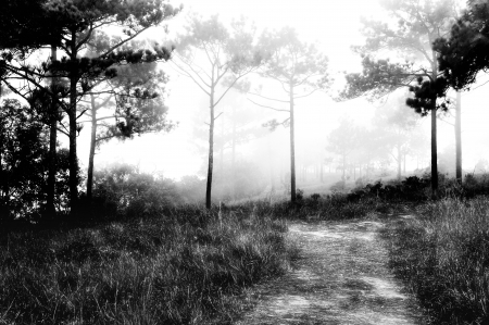 black giant mountain: Pine Forest in black and white shadow