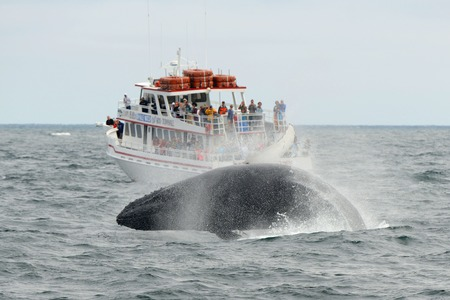 maritimes: MASSACHUSETTS BAY, USA - JUL 25, 2015: Humpback whale breaching out of the water in front of Whale Watching Boat Miss Cape Ann on the sea near Gloucester, Massachusetts, USA.