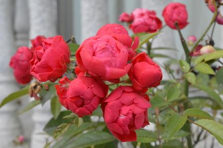 Chinesische Rosen schließen herauf Ansicht Standard-Bild - 92654877