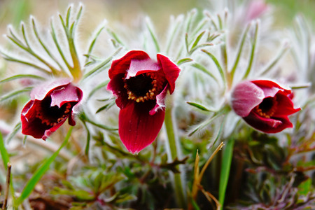 Pasqueflower that bloomed from the corner.