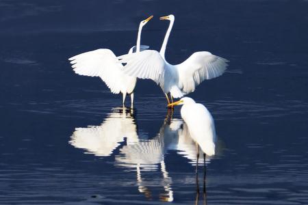 Courtship of love of egret Imagens