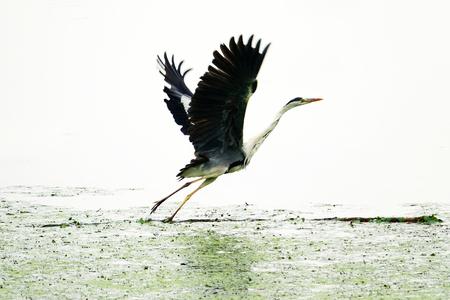 Emergency of a black crane