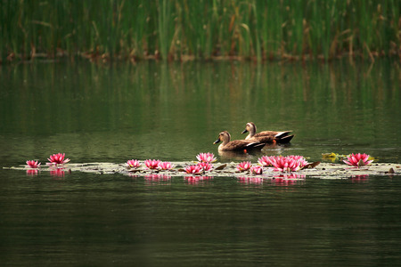 Mallard ducks swim through water lilies. 版權商用圖片