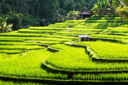 バリ島, ウブド, インドネシア アジア近くジャティルウィの棚田