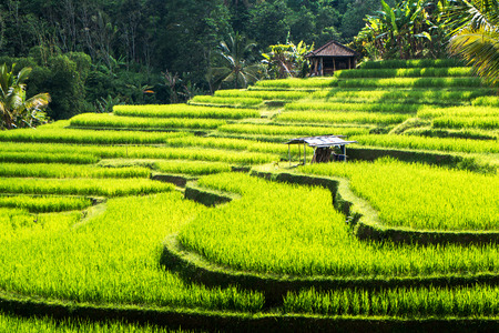 Rice terraces of Bali Island,Jatiluwih, near Ubud,  Indonesia  Asia