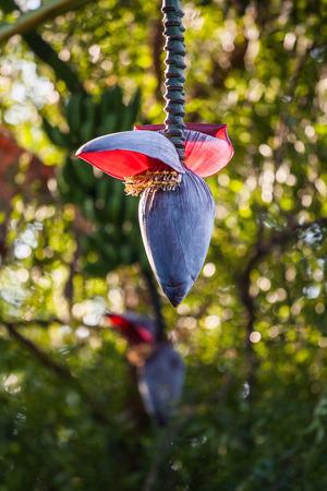 バナナの木と緑の果実と花