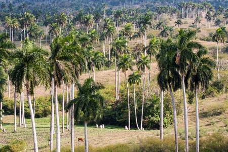 パーム キューバの風景 写真素材