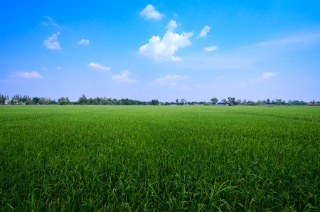 agriculturist: Paddy rice in field