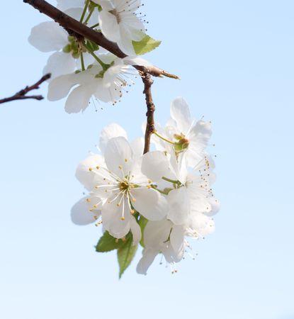 White apple flower on blue backgroun