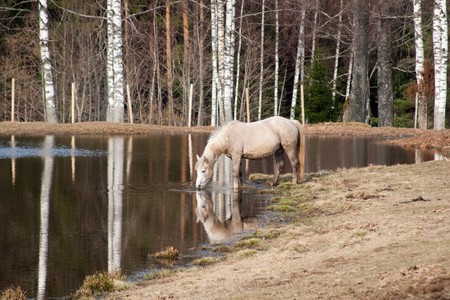 Horse watering at green spring forest
