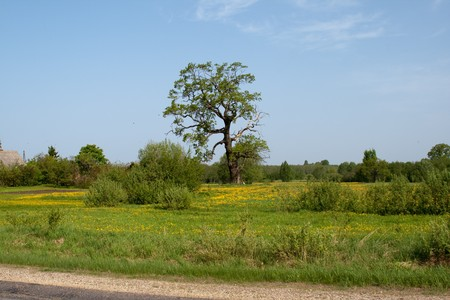 Summer meadow with dandelion flower and tree