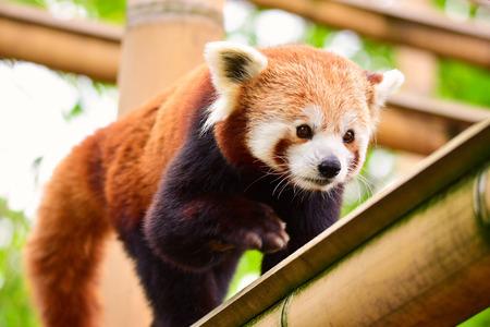Red panda Standard-Bild