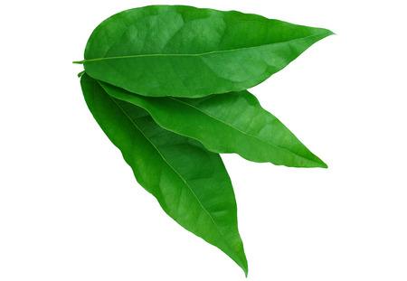 Bai-ya-nang (Thai name) (Tiliacora triandra). 免版税图像