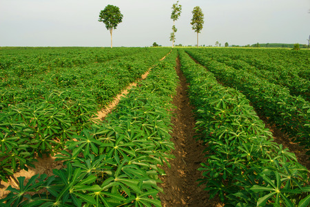 The small cassava in morning. Thailand is top Exporter of cassava in the world.