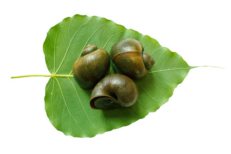 apple snail: apple snail on leaf Stock Photo