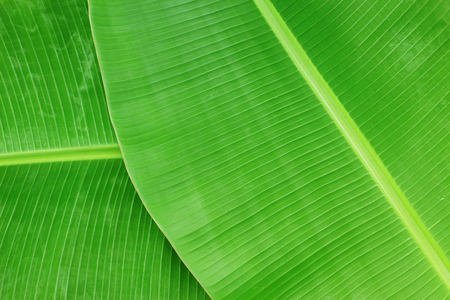 Closeup of banana leaf texture abstract background 版權商用圖片