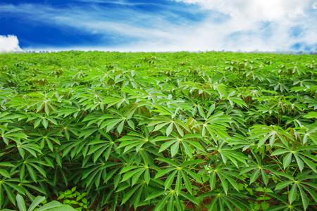 Cassava plantation Northeast of Thailand