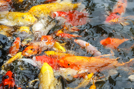 Beautiful fancy carp or koi fish are swimming in the pond Standard-Bild