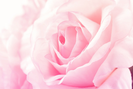 Sweet color roses in soft style for background Stock Photo