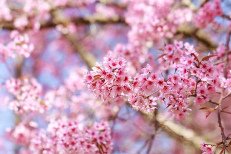 Wild Himalayan Cherry Blossoms in spring season (Prunus cerasoides), Sakura in Thailand, selective focus