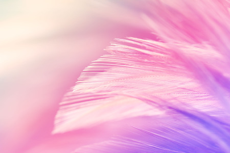 Pastel colored of chicken feathers in soft and blur style for the background