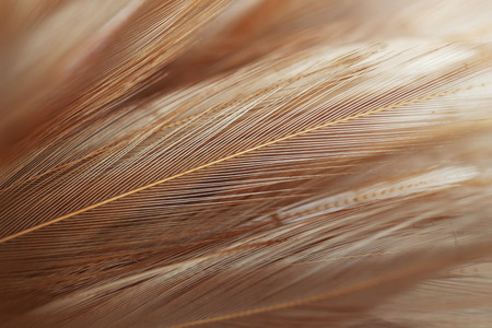 Chicken feathers in soft and blur style for background and art design
