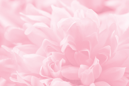 Beautiful pink chrysanthemum flowers in soft style for background